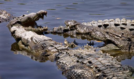 Croc_conclave