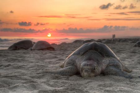 Turtle_golfina_mazunte_oaxaca_mexico_claudio_giovenzana_2010