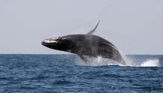 ballenas-en-las-islas-marietas-nayarit